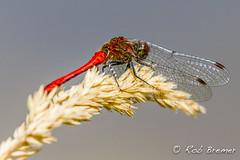Ruddy Darter / Bloedrode heidelibel (rob.bremer) Tags: ruddydarter bloedrodeheidelibel sympetrumsanguineum noordhollandsduinreservaat nederland netherlands noordholland libel dragonfly doornvlak