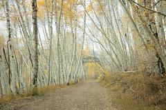 Autumn on Last Dollar Road (HLazyJ - Susan Humphrey) Tags: colorado coloradolandscape coloradoroads canon canonllens canon5ds sanjuanmountains southwesterncolorado quakies aspen trees ©susanhumphrey