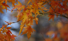Autumn Painting (vbd) Tags: pentax k3 vbd smcpentaxda55300mmf458ed ct connecticut fall newengland autumn fallcolor bokeh japanesemaple leaves yellow 2016 fall2016 handheld manualfocus trumbull bokehpainting