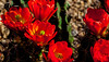 6 beauties (JohnHersey16) Tags: flower desert succulentplant cactus arizona claret red cactusflower southwestusa needleplantpart outdoor thorn closeup bloodred colorimage desertplant nopeople dry bud hedgehogcactus bunchflower bunch