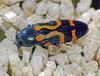 Jewel-beetle Castiarina flavopicta (Simon Grove (TMAG)) Tags: tasmania tmagzoology tasmanianmuseumandartgallery insecta coleoptera buprestidae castiarina december2016