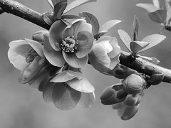 Flowers quince black and white. (Adam Nowak) Tags: quince flowers bokeh floweringquince