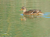 Hembra de Azulón (Anas platyrhynchos) (15) (eb3alfmiguel) Tags: aves acuaticas anade azulon hembra