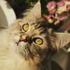 MIEZI (eagle1effi) Tags: instagramapp square squareformat iphoneography uploaded:by=instagram lark s7 mainecoon balcony neugierig s5