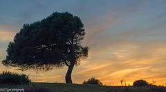 Lights leaving the tree (Bilel Tayar) Tags: lightsfromguerbez sunset sun tree landscape arbre couchedesoleil guerbez skikda algeria solail paysage lumiere lights sky printemps soir spring nikon tamron