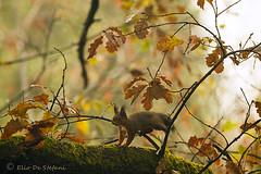 scoiattolo comune europeo (elio de stefani.) Tags: sciurusvulgaris scoiattolocomuneeuropeo roditore natura mammifero autunno quercia eliodestefani collinemorenichedelgarda squirrel
