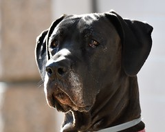 MRC_6129 Test D500+200-400VR (Obsies) Tags: greatdane grandanes dogs 200400vr nikon d500