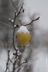Glace à la poire (Fontenay-sous-Bois - Officiel) Tags: fontenay fontenaysousbois regionparisienne valdemarne iledefrance 94 94120 fruit poire neige snow pear nature hiver winter