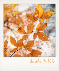 Golden beech leaves. (jeanne.marie.) Tags: december22016 branches patternsinnature instant iphone7plus iphoneography fall leaves autumn
