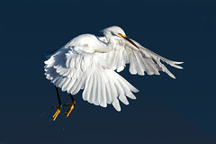 Landing Softly (Patricia Ware) Tags: ballonawetlands birdsinflight california canon ef400mmf56lusm egrettathula handheld playadelrey snowyegret httppwarezenfoliocom 2016patriciawareallrightsreserved marinadelrey unitedstates us specanimal