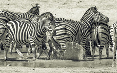 Making A Splash (philnewton928) Tags: burchellszebra zebra zebras mammal animal animalplanet wild wildlife nature natural biyamiti kruger krugernationalpark africa southafrica outdoor outdoors safari nikon nikond7200 d7200 monochrome blackandwhite blackwhite bw waterhole pattern stripes