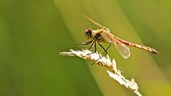 Sumpf Heidelibelle (michel1276) Tags: libelle heidelibelle libellule dragonfly odonata insekt insect outdoor makro macro tier animal natur nature canon 100400