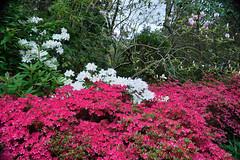 Everglades Gardens - Leura - Blue Mountains Australia (Robert J Wilson) Tags: flowers plant garden outdoor everglades leura blue mountains spring nikon d3200 tamron