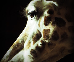 Graceful, Elegant, Gorgeous Eyes (Nightsampler) Tags: chester chesterzoo giraffe bigeyes