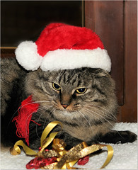 Waiting to Christmas  (Simply Viola) Tags: cat pet christmascat feline animal kot katzen gato gatto felino animale