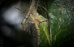 prob. Dolomedes (dustaway) Tags: arthropoda arachnida araneae araneomorphae australianspiders lismore northernrivers nsw australia nature pisauridae dolomedes