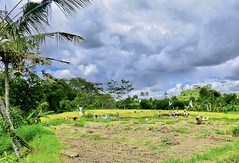 The harvest in the ricefields . (Franc Le Blanc .) Tags: panasonic lumix indonesia bali harvest rice fields people