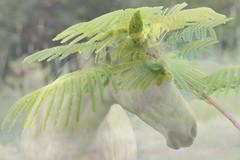 48/52 Spirit of the wind (Gillian Everett) Tags: imageart horse poinciana composite spirit
