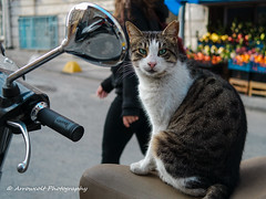 Cat 26 (`ARroWCoLT) Tags: cat catstagram nxmini 17mm straycat vespa chrome bokeh dof depthoffield samsung streetphotography sokak kedi sokakkedisi tekir outdoor animal pet blueeyes