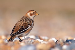 Snow Bunting (redmanian) Tags: snow bunting nikonflickraward bird