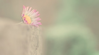 Minimalism Daisy