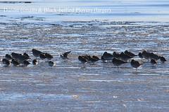 Dunlin & Black-bellied Plovers (Terrance Carr) Tags: dncb 201649 dike terry carr terrycarr 2016 december 20161206
