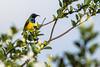 Souimanga à dos vert (Philippe Lécuyer) Tags: lombok wildlife canon7dmarkii bird20iocreplaceoldbirdlist nature bird avifauna indonesia oiseau olivebackedsunbird cinnyrisjugularis nectariniidae