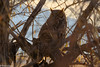 Whooo are you? (brian eagar) Tags: owl greathornedowl utah bird wildlife nature animal outdoor outside fuji fujifilm xt2 100400 xf100400 evening watching searching hiding finding tree obscured fujinon daviscounty