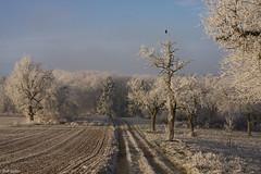 und es war zauberschön (leaving-the-moon) Tags: 2016 201612 baden bäume deutschland germany goodlight kraichgau landscape landschaft raureif sweethome trees whitefrost winter wood