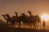 (Karunyaraj) Tags: pusharfair pushkar thardesert desert thar rajasthan india camel camelfair2016 camelfair goldenhour goldentones goldendust silhouettes sun sunset sunrays dust cwc cwc561 chennaiweekendclickers nikond610 d610 nikon24120 fullframe fx