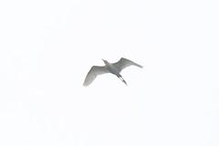 黃頭鷺 Photo
