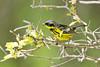 _53F2132 Magnolia Warbler On Hawthorne (~ Michaela Sagatova ~) Tags: male dundas birdphotography magnoliawarbler dendroicamagnolia dvca michaelasagatova spring2014
