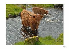 The Cow... (Harleynik Rides Again.) Tags: water scotland highlands nikon df stream burn westcoast plockton highlandcattle