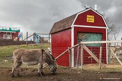 Donkey (ECF Calgary) Tags: red sky pet canada calgary barn pen fence farm pigeon donkey alberta pettingzoo dreamviews