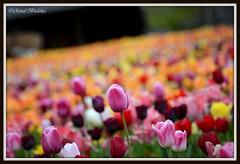One among many (Renal Bhalakia) Tags: flower colors spring colorful colours tulips colourful haymarket pinktulip princewilliamcounty tulipfarm nikond600 renalbhalakia nikon28300mmvr burnsidefarm