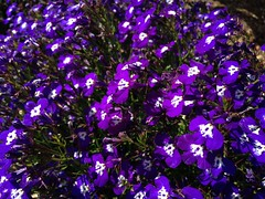 The Purps (!efatima) Tags: flowers catchycolors flora purple efatima iphone folra