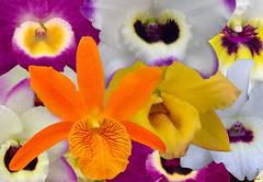 Dendrobium Nobile Collage  (j.lacerda) Tags: flowers nature collage odontoglossum dendrobiumnobile