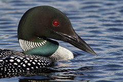 Loon (Padrone) Tags: