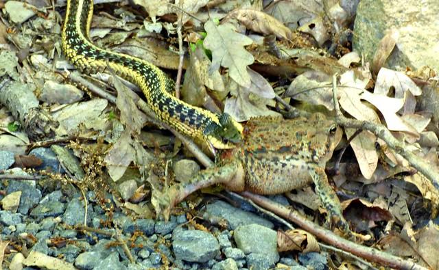 Garter snake vs toad