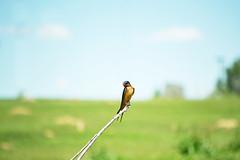perched swallow [explored] (heartinhawaii) Tags: summer bird nature colorado wildlife explore perched swallow adamscounty explored inexplore swallowbird nikond3100 grandviewponds