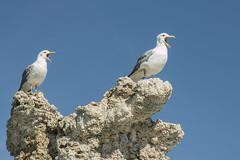 California Gulls Yawning, Mono Lake (marlin harms) Tags: californiagull laruscalifornicus gull gullonmonolake gullontufa monolakegull monolaketufa monolake easternsierra