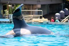 Orca at Seaworld San Diego (sillyrach) Tags: world ocean sea photography one san stadium diego killer whale orca seaworld shamu