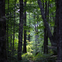 Dans une foret enchante V (bbferrand) Tags: canada tree green leaves forest quebec vert arbres mauricie fort feuilles carr pleinair sousbois ef50mmf18 madameb laccastor saintpaulin canoneos60d auxbergesdulaccastor t2014 juillet2014