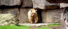 Oso (rubn.espinosa) Tags: bear cute tourism grass animal rock fur mexico zoo oso df wildlife pasto teddybear habitat turismo roca chapultepec piel tierno zoologico vidasalvaje zoologicodechapultepec