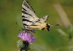 Scarce swallowtail (bbic) Tags: summer flower nature butterfly lila scarceswallowtail fluturecoadaderandunica
