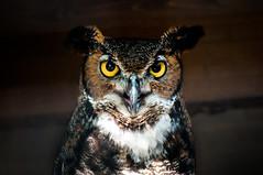 hoot owl (Sam Scholes) Tags: bird birds utah saltlakecity owl greathornedowl bubovirginianus tracyaviary hootowl tigerowl
