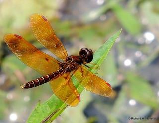 Male Eastern Amberwing_2061-001
