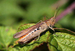 Chorthippus biguttulus-group (bugman11) Tags: macro nature animal animals fauna canon bug insect nederland thenetherlands insects bugs grasshopper grasshoppers autofocus thegalaxy platinumheartaward 100mm28lmacro infinitexposure