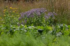 bourrache : des fleurs pour agrémenter vos salades