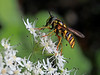 From the pollination nation - (rotraud_71) Tags: summer flower macro hoverfly vanagram blinkagain